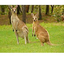 visiting kangaroos Photographic Print