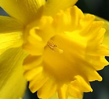 Radiant Yellow Daffodil  by Joy Watson
