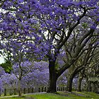 jacarandas in bloom by gary roberts