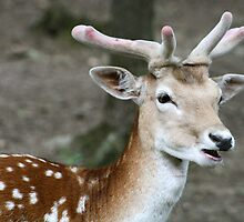 Deer close up by Joanne Emery