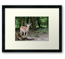 Deer in the woods Framed Print