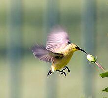Dinner on the run - sunbird feeding by Jenny Dean