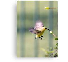 Dinner on the run - sunbird feeding Canvas Print