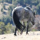 Teton, Pryor Mountain Stallion by sandyelmore