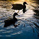Ducks at Dusk by Geoff Carpenter