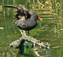 Moorhen on a branch in the river by alicara