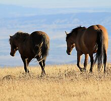 Wild Stallion and his Mare of Pryor Mountain, MT by sandyelmore
