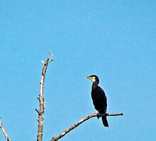 Cormorant on a branch resting by alicara