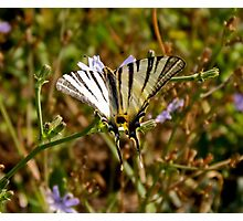 Butterfly on a flower of wild chicory Photographic Print