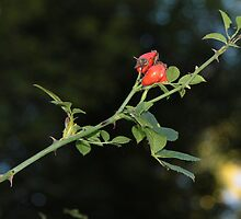 Rosehip in the woods by Penny V-P