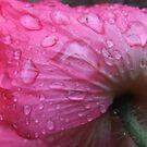 Poppy In The Rain by Tracy Wazny