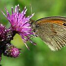 Meadow Brown Butterfly by John Keates