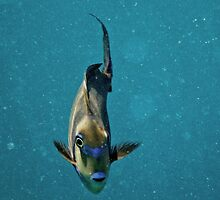 Picasso Trigger fish #2 by helen conibear