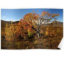 Oasis of colour on Rannoch Moor. Poster