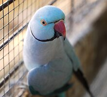 Blue Indian Ringneck by SharonD