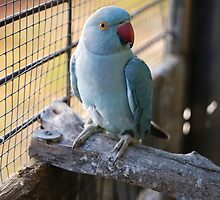 Blue Indian Ringneck-bird 2 by SharonD