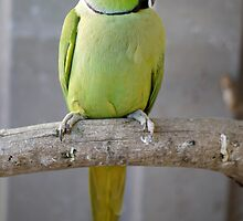 Green Indian Ringneck by SharonD