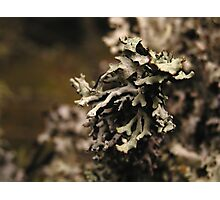 Lichen Covered Twig Photographic Print