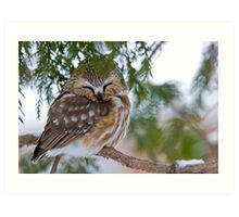 Sleeping Northern Saw Whet Owl - Ottawa, Ontario Art Print
