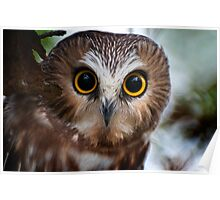 Northern Saw Whet Owl Portrait Poster