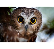 Northern Saw Whet Owl Portrait Photographic Print