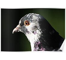 Friendly Pigeon 1027 Poster