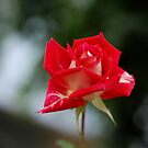 A beautiful Rose by Barbara Anderson