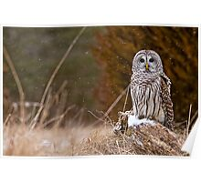 Barred Owl on log Poster