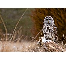 Barred Owl on log Photographic Print