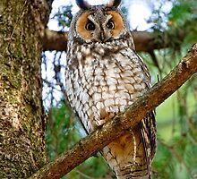 Owls of Ontario by Michael Cummings