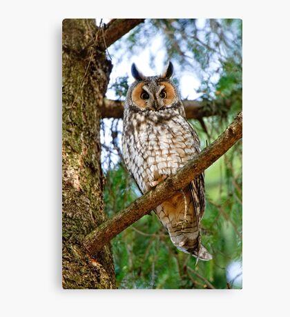 LEO - Long Eared Owl - Ottawa, Ontario Canvas Print
