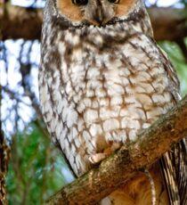 LEO - Long Eared Owl - Ottawa, Ontario Sticker