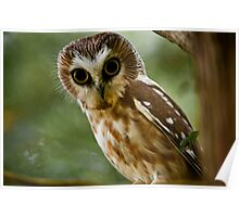 Northern Saw Whet Owl On Branch Poster