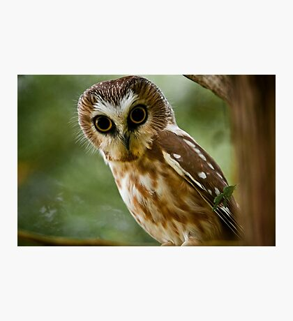 Northern Saw Whet Owl On Branch Photographic Print