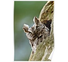 Screech Owl - Ottawa, Ontario Poster