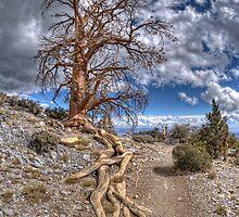 Elder Tree by jen529