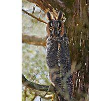 Long Eared Owl - Amherst Island, Ontario Photographic Print