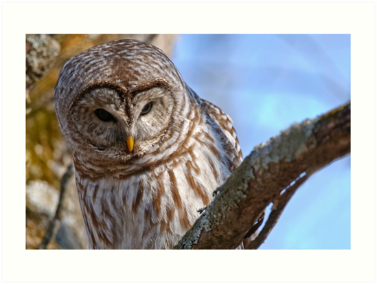 Barred Owl - Brighton Ontario by Michael Cummings
