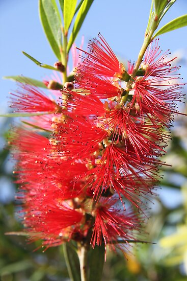Red bottle brush by kyle coffee