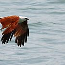 """Brahminy Kite"" by Sue  Fellows"