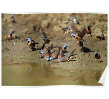 Black-throated Finches  Poster