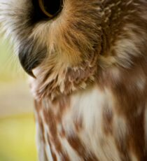 Northern Saw Whet Owl Sticker