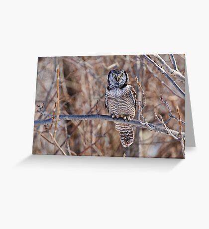Northern Hawk Owl Greeting Card