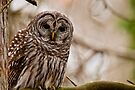 Barred Owl - Presqu'ile Provincial Park  by Michael Cummings