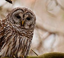 Barred Owl - Presqu'ile Provincial Park  by Michael Cummings