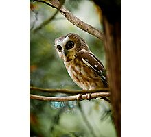 Northern Saw Whet Owl Photographic Print