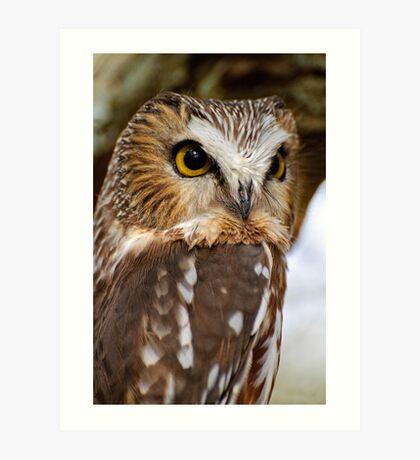 Saw Whet Owl - Amherst Island, Ontario Art Print