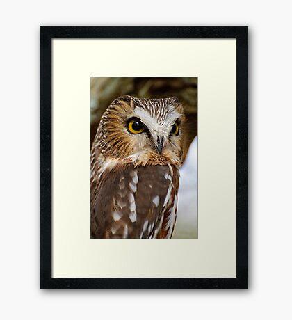 Saw Whet Owl - Amherst Island, Ontario Framed Print