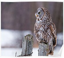 Great Grey Owl - Dunrobin, Ontario Poster
