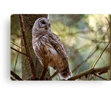 Barred Owl in Pine Tree - Brighton Ontario Canvas Print